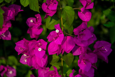 Bright pink flowers grow on a Bush photo