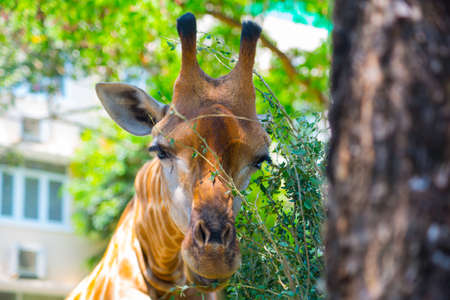 chi: Beautiful giraffe eats the leaves in the oldest zoo in Vietnam in Ho Chi Minh city. Asia. Stock Photo