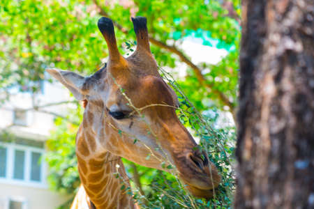 eats: Beautiful giraffe eats the leaves in the oldest zoo in Vietnam in Ho Chi Minh city. Asia. Stock Photo