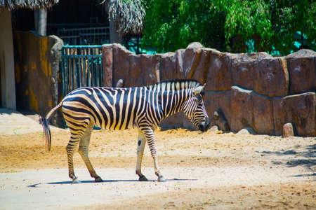 ordinary: Ordinary Zebra is walking in the zoo near the fence. The country of Vietnam, Hochiminh city. Asia.