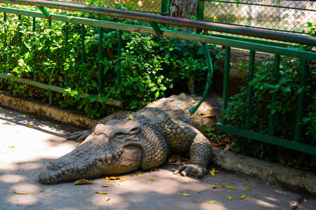 climbed: Crocodile with open mouth climbed the fence at the zoo. Stock Photo