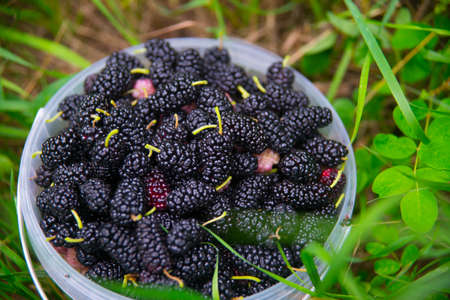 black berry: Black berry in the bucket on the background of green grass