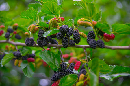 black berry: Black berry on a branch, mulberry Stock Photo