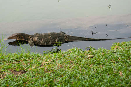 lacertidae: A large lizard. Iguana in the water. Bangkok.Thailand.