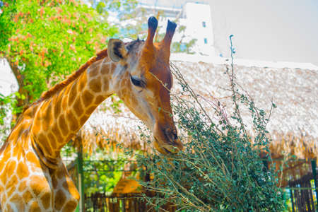 Giraffe in the oldest zoo of Vietnam. Ho Chi Minh city Stock Photo