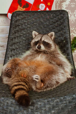 Beautiful big raccoon sitting on the black chair Stok Fotoğraf