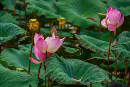 Pink sacred Lotus blossom and leaves in lake Stockfoto