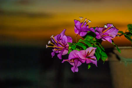 Flowers in pot. Sunset, view of the sea and palm trees. Apo island, Philippines.