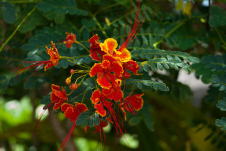 Beautiful red yellow flowers on a background of green leaves. Pandan, Panay island, Philippines.