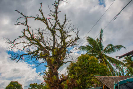 lia: The branches of the unusual tree with green leaves against the sky. Philippines. Pandan, Panay island