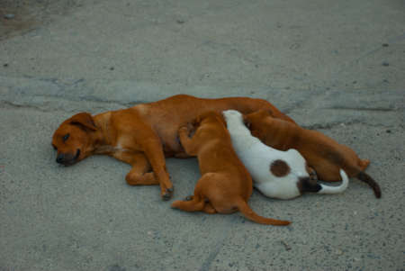 better: The dog is lying on the road and feeds puppies. Boracay, Philippines
