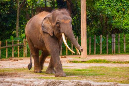 Huge elephant in the zoo. Malaysia Borneo