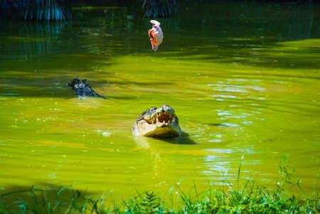 Crocodiles at Crocodile Farm in Sarawak. Borneo. Malaysia. Jongs Crocodile Farm Zoo. Stock Photo