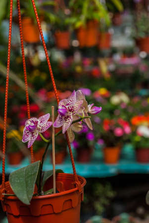 Orchids in pots. Flowers at the farmers  market in Malaysia. Sabah Borneo