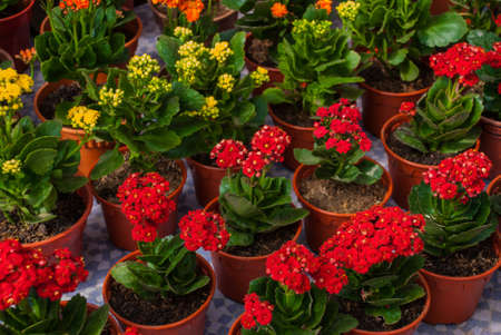 Flowers at the farmers  market in Malaysia. Red and yellow flowers in pots. Sabah Borneo Stock Photo