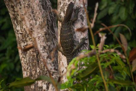 Malaysian varan big lizard in the wild. Wild flora and fauna of Southeast Asia. Borneo, Sabah