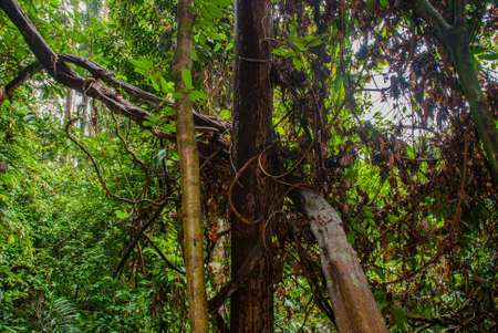 The tree grows in the jungle, the fallen leaves from the trunk of Borneo, Sabah, Malaysia