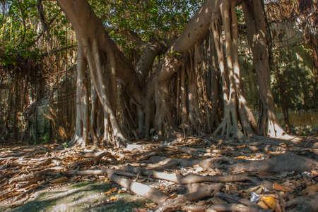 Beautiful huge green trees with lianas. Havana, capital of Cuba