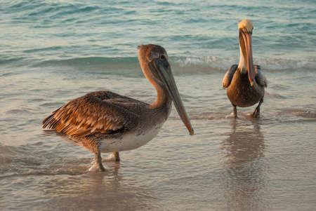 Beautiful pelicans by the sea at sunset. Varadero. Cuba.