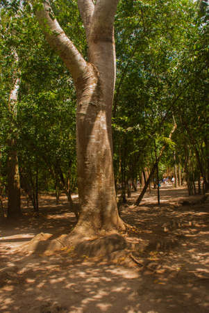 Jungle trail bordered by trees, leading to the famous pyramid in Cobe. Mexico, Yucatan.