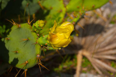 Green Cactus with yellow flower is close up in nature. Tulum, Mexico, Yucatan.