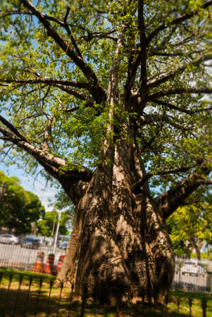 A huge baobab tree grows in the Park of the Recife city.