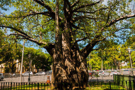 Recife, Pernambuco, Brazil: A huge baobab tree grows in the Park of the Recife city, brought from Africa.