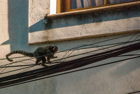 Sagui monkey in the wild in Rio de Janeiro, Brazil. The black-tufted marmoset callithrix penicillata lives primarily in the Neo-tropical gallery forests of the Brazilian Central Plateau.