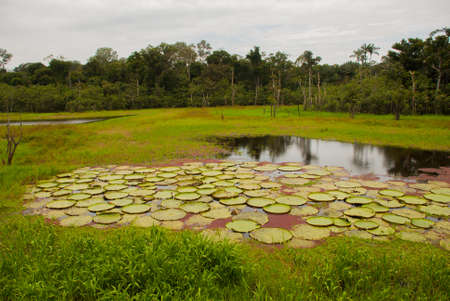 Victoria Regia, the world's largest leaves, of Amazonian water lilies. Amazonas, Brazil. South America