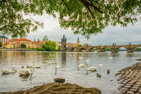 Prague, Czech Republic, Europe: The Vltava river, The Vltava river, Charles bridge and white swans in Prague, Czech Republic in Prague, Czech Republic