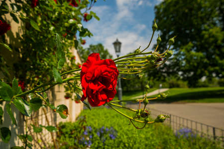 Prague, Czech Republic: Beautiful Park with red roses on the territory of the Visegrad fortress