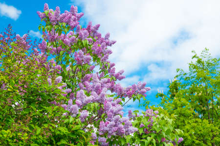 Branch with spring lilac flowers. Russia, Saint Petersburg 免版税图像