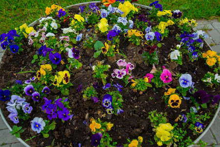Beautiful Pansy flower close up in summer. Russia, Saint Petersburg Stock Photo