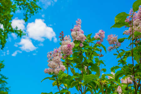 Branch with spring lilac flowers. Russia, Saint Petersburg