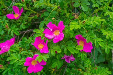 Blossoming dogrose flowers in the summer garden
