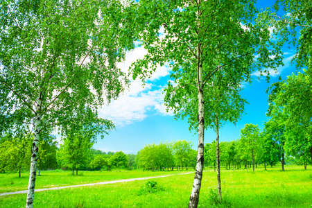 Russia, Saint Petersburg: view of the summer landscape in the Park with birches.