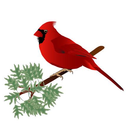 cardinal: Male Cardinal standing on a tree limb. Illustration