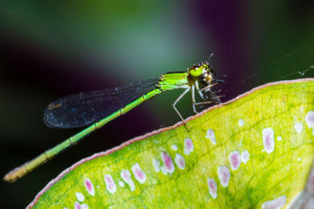 Resting green dragonfly eating spider on leaf photo