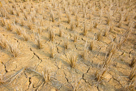 rice stubble with mud crack in rice field