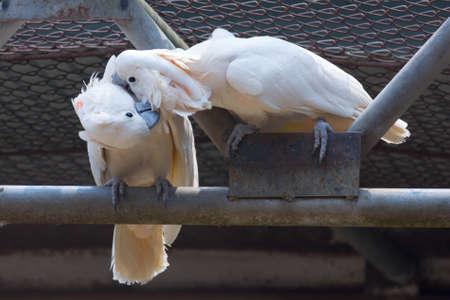 cockatoos: Due cacatua bianchi baciano insieme