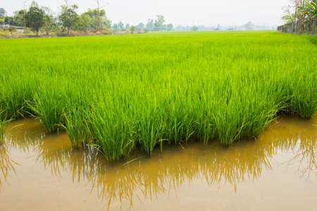 Paddy rice field at day time, Chiang rai, thailand. photo