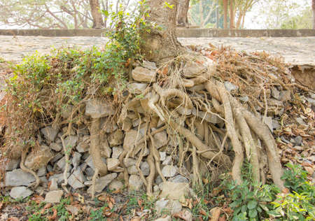 centenarian: big tree roots and big stones in tropical national park  near road.