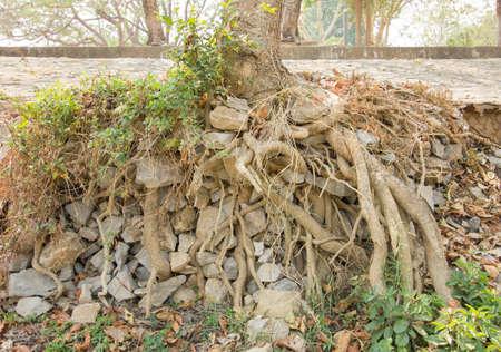 centenarian: grandes ra�ces de los �rboles y grandes piedras en el parque nacional tropical cerca de la carretera. Foto de archivo