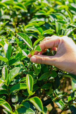 plucking: hand of woman plucking fresh green tea leaf Stock Photo