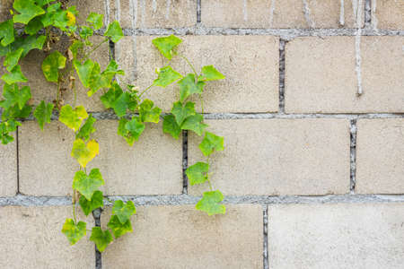 hollow wall: Hollow brick wall with green lvy Gourd