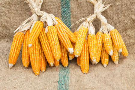 agrarian: Ears of ripe corn on the gunnysack