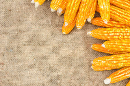 agrarian: Ears of ripe corn on the gunnysack with space for special text on the left Stock Photo
