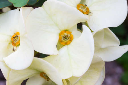 plantlet: closeup white euphorbia milii flowers ,background