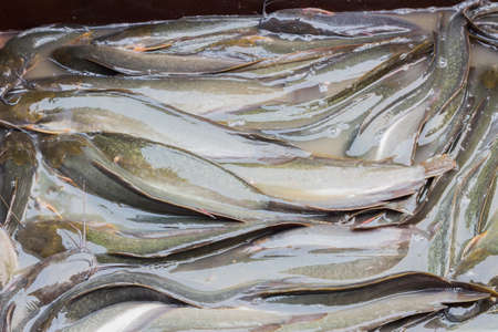 wallpapaer: many catfish close-up for sale in thai market, background Stock Photo