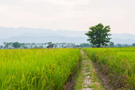 rive: Traces of the wheel in the rice field with big tree in the background